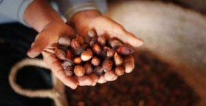 argan-tree-fruits